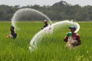 Photo of farmers applying fertilizers in a field